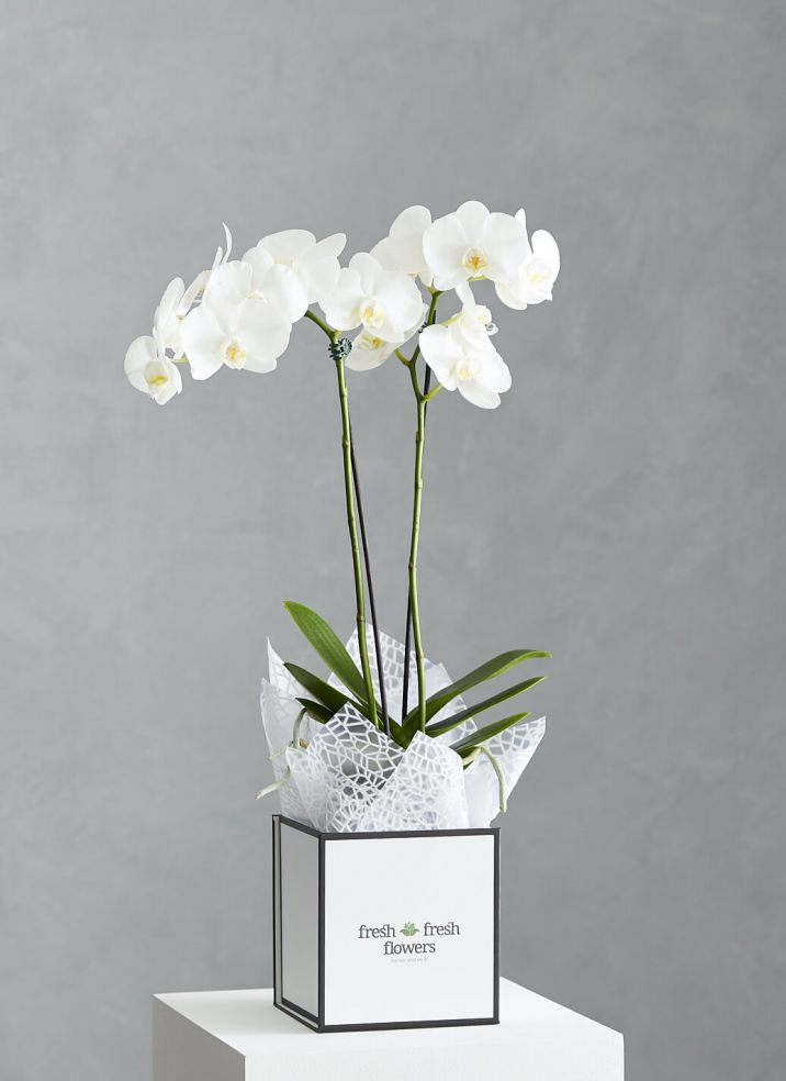 Boxed Orchid